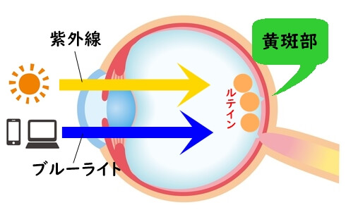 黄斑部の断面図